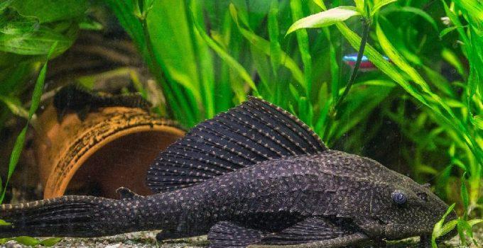 Best Small Aquarium Catfish