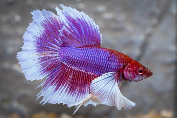 Purple Bettas