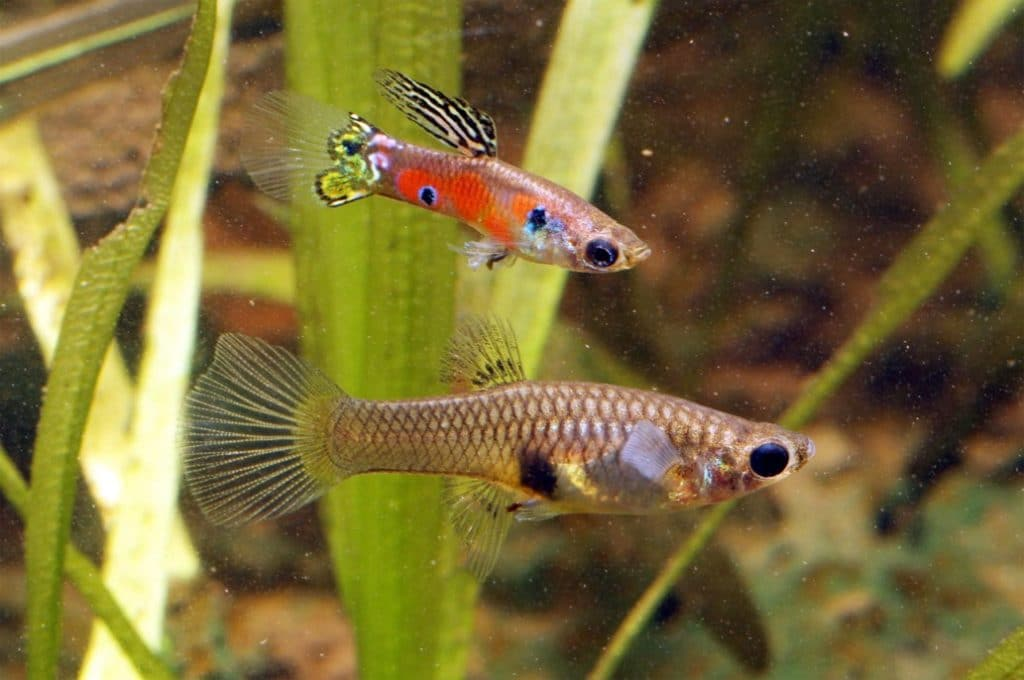 Delivery Signs of Pregnant Guppies