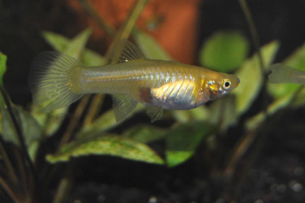 Signs of Pregnant Guppies