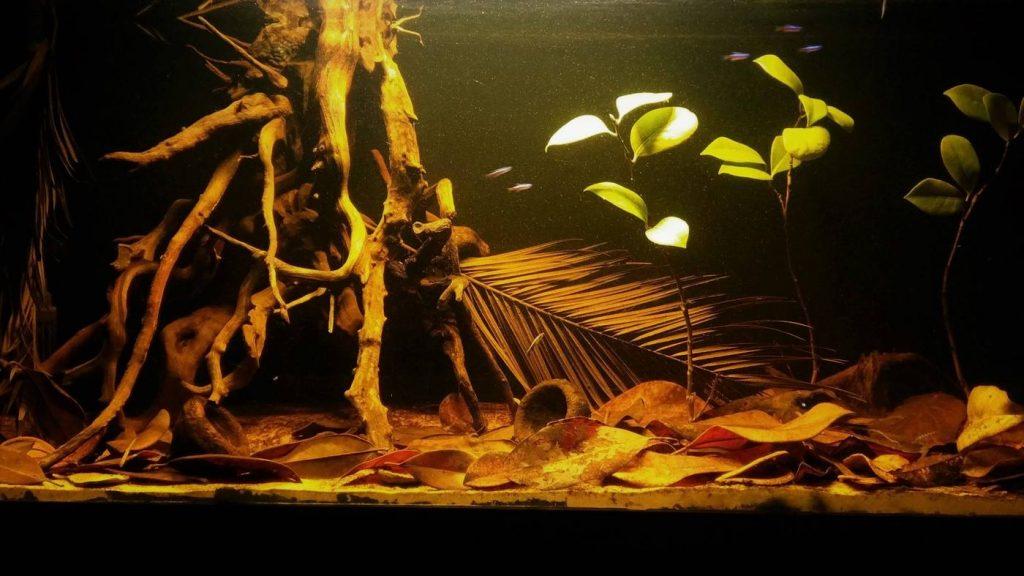 Set Up a Blackwater Aquarium