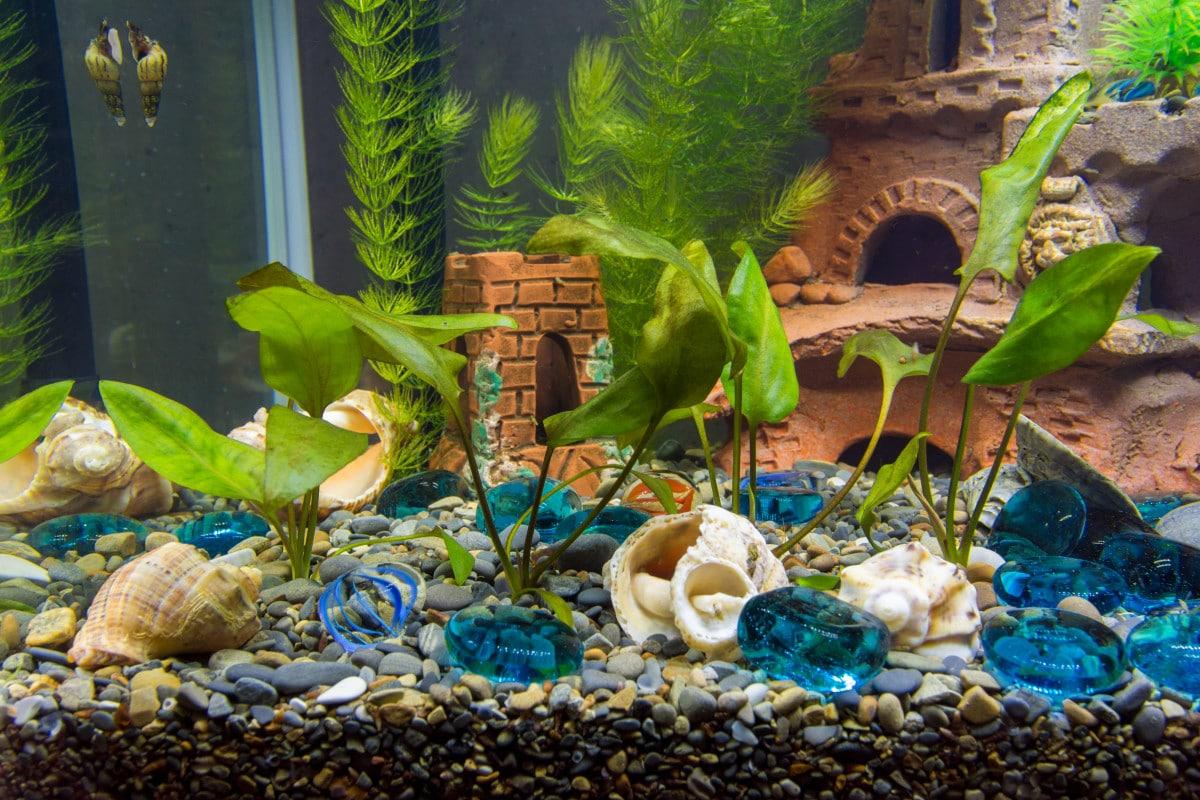 Types of Aquarium Snails
